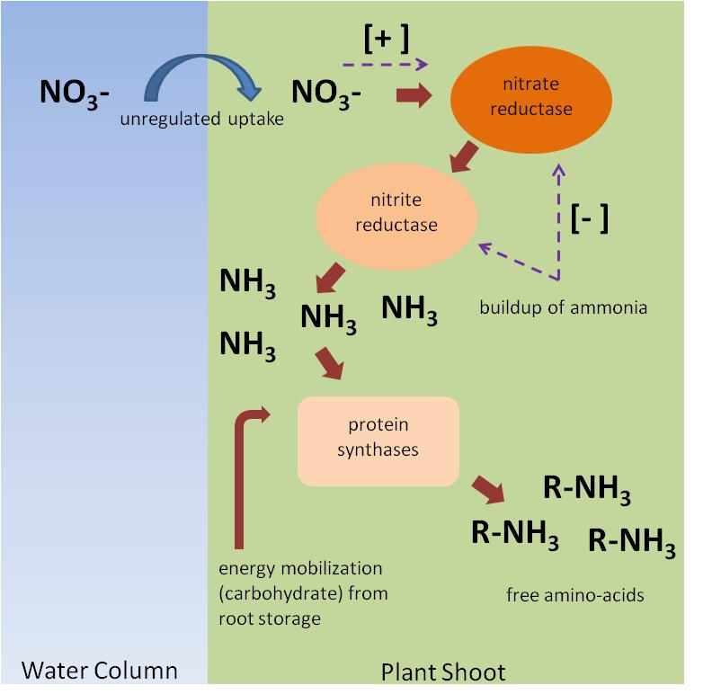 Figure 1. Conceptual model of nitrate overload hypothesis.  Uptake of nitrate is unregulated at the cellular level and presence of nitrate induces nitrate reduction to ammonia. Buildup of ammonia should be a negative feedback[-] for nitrate reduction enzymes; however this process appears not to function in some species. Ammonia can be toxic to plants and therefore is alleviated via amino acid and consequent  protein synthesis, which requires energetic inputs from plant carbohydrate stores. Buildup of free amino acids and depletion of root carbohydrate stores are potential diagnostics of nitrate overload in SAV.