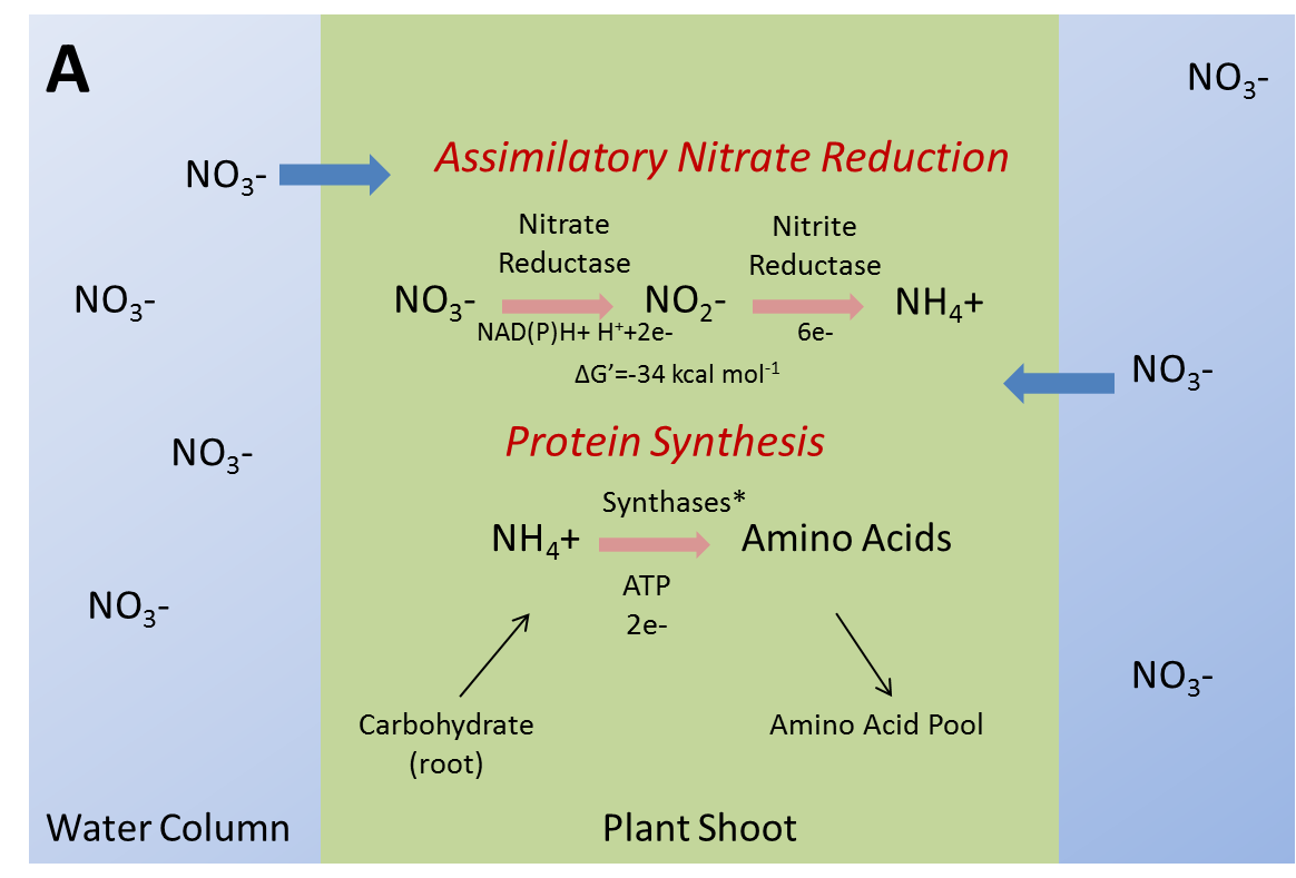 Figure 2. Assimilatory nitrate reduction in [A] SAV shoot and [B] cyanobacterial cell. Note cyanobacteria cannot utilize NAD(P)H as an electron donor in the reduction of nitrate to nitrite and thus rely solely upon ferrodoxin. Also note a slight energetic advantage [ΔG'] exists for cyanobacteria in the reduction of nitrate to nitrite.