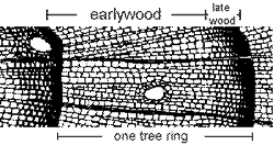 transverse view of a conifer tree ring