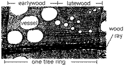 transverse view of an angiosperm tree ring